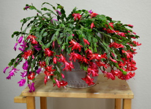 Poinsettia & Christmas Cactus Care, After the Holidays | Green ...